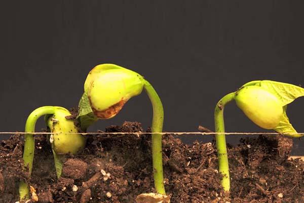 Semillas plantadas en tierra