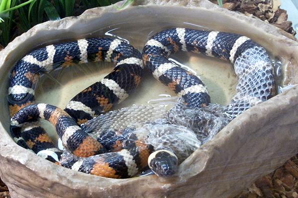 Serpiente doméstica en su terrario